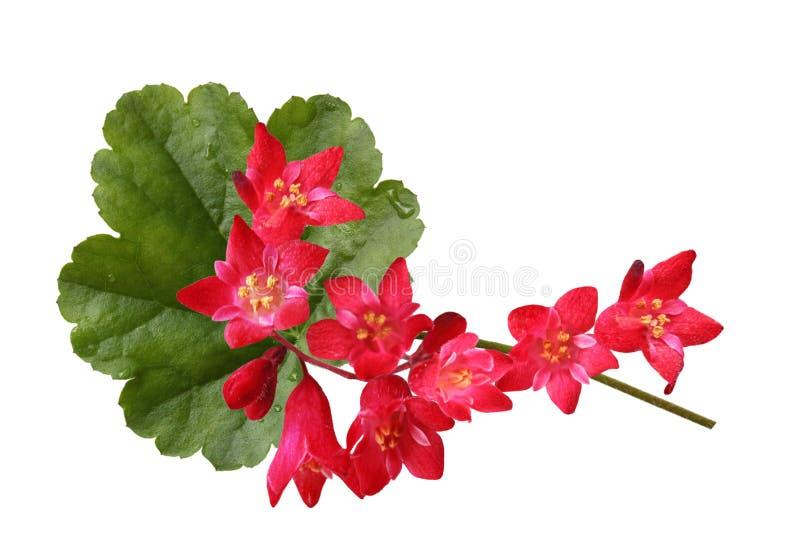 KorallKlockor blommor arkivfoto