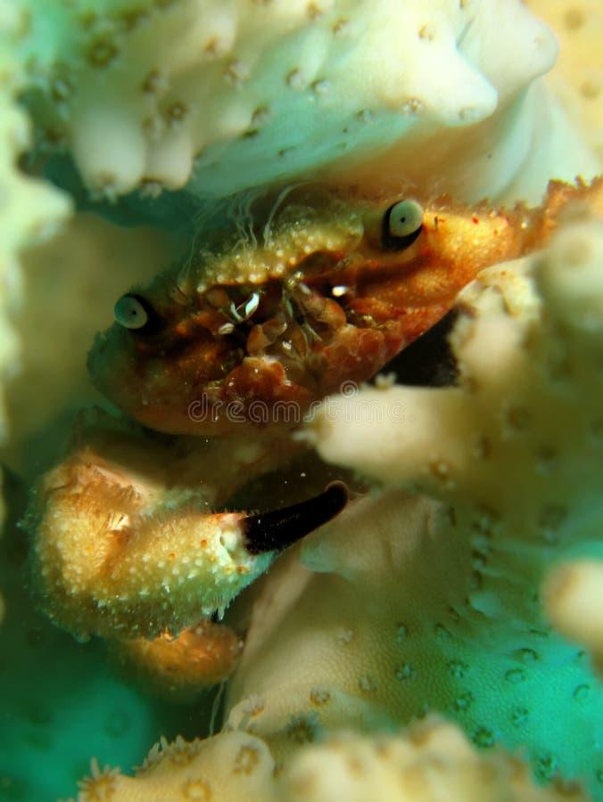 Korallkrabba royaltyfri foto