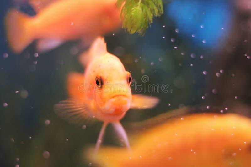 Korallrev, fisk i vatten, guld- fisk arkivfoto