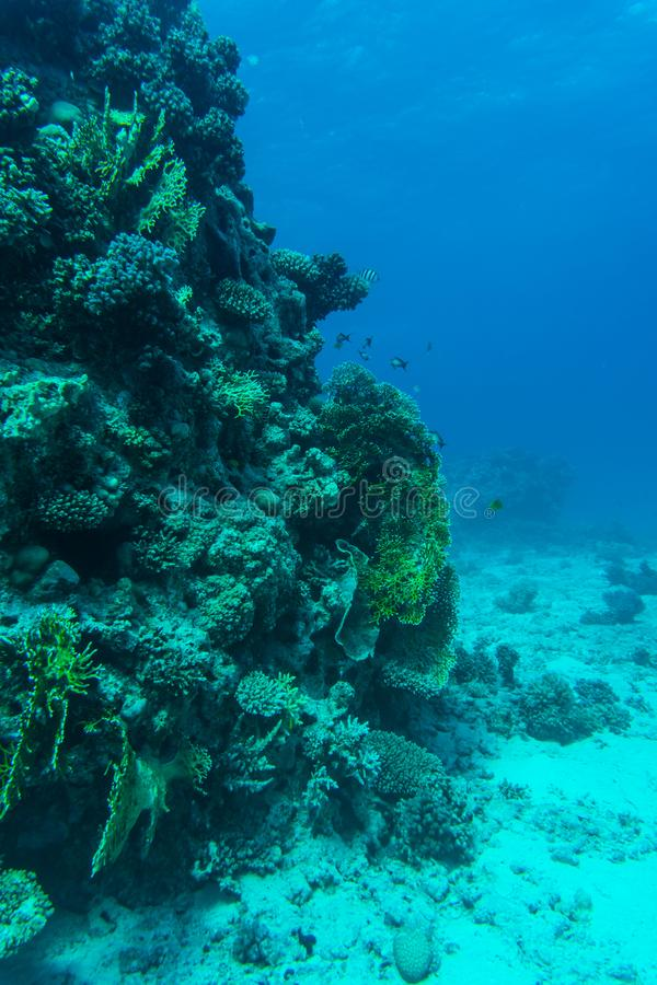 Korallrev med mjuka och hårda koraller och exotiska fiskanthias i det tropiska havet på bakgrund för blått vatten som är undervat arkivfoto