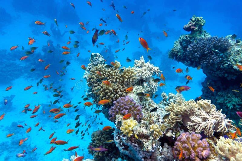 Korallrev med mjuka och hårda koraller med exotiska fiskanthias på botten av det tropiska havet på bakgrund för blått vatten