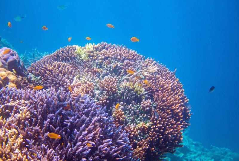 Korallrev med tropiska fiskar Undervattens- foto för tropiska kustdjur arkivbilder