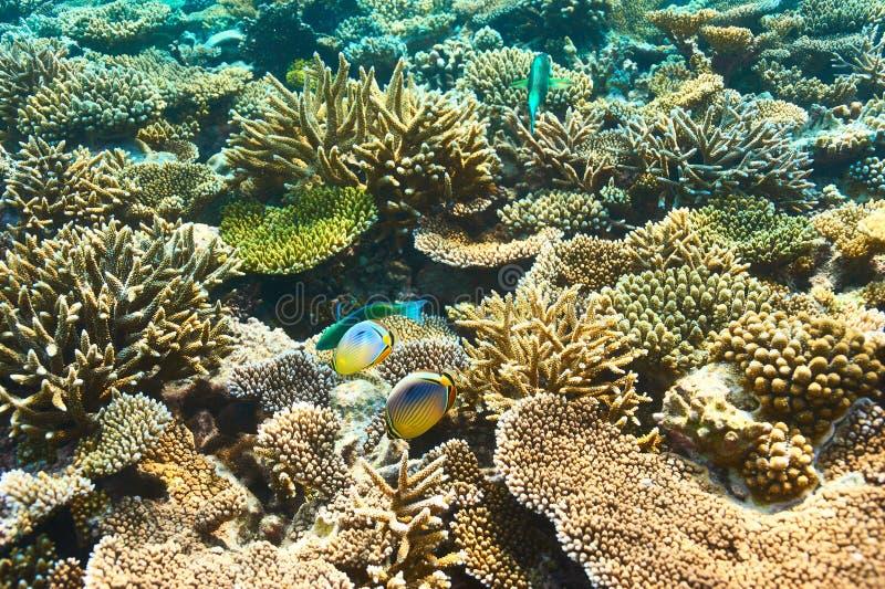 Korallrev på Maldiverna arkivbilder