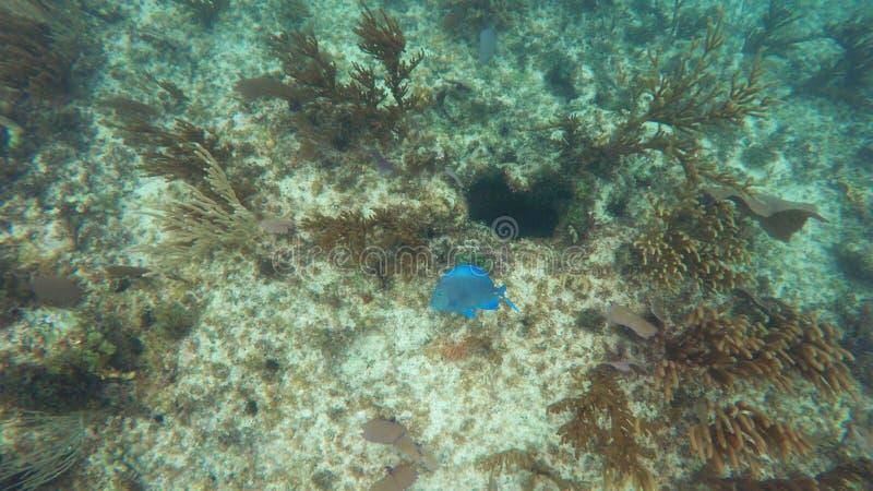 Korallrever med en ljus blå fisk royaltyfria bilder