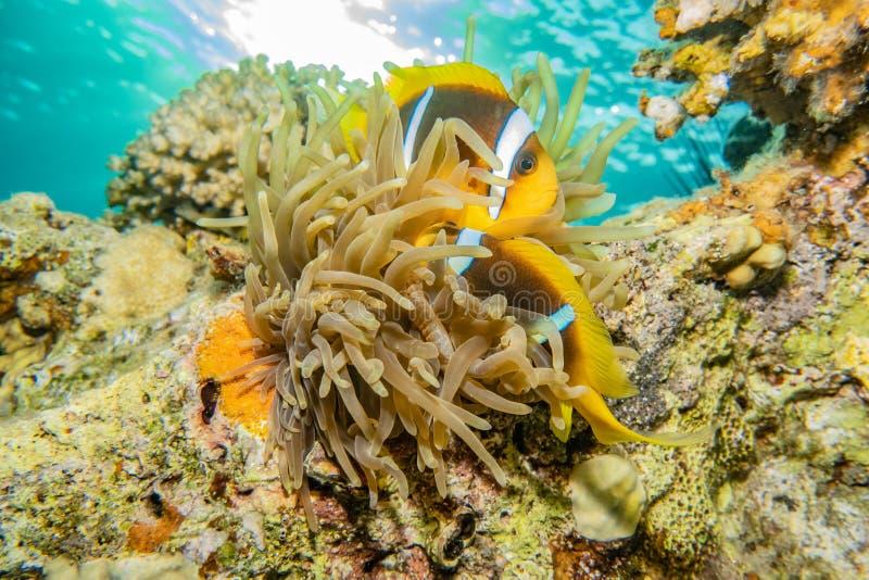 Korallrever och vattenv?xter i R?da havet royaltyfria foton