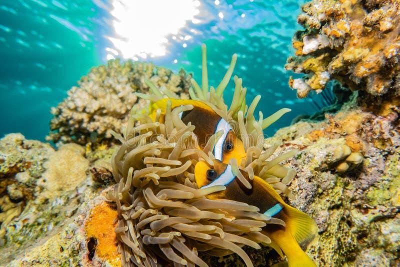 Korallrever och vattenv?xter i R?da havet fotografering för bildbyråer