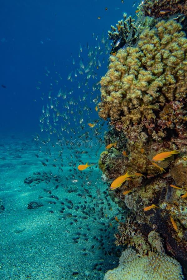 Korallrever och vattenv?xter i R?da havet royaltyfria bilder