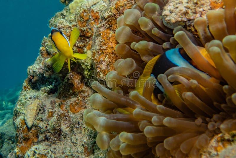 Korallrever och vattenv?xter i R?da havet arkivbild