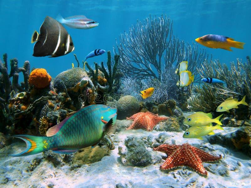 korallrevsjöstjärna royaltyfri bild