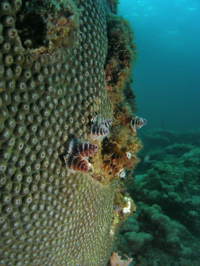 korallstjärna arkivfoto
