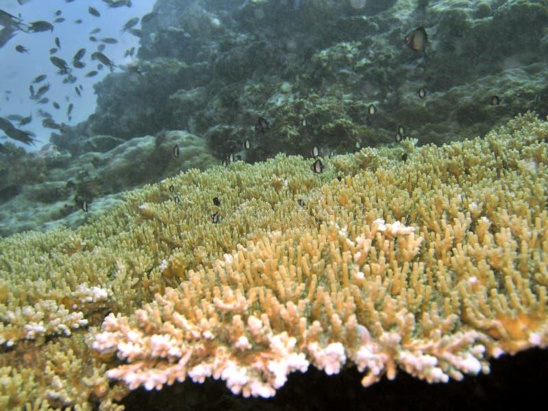 koralltabell arkivfoton