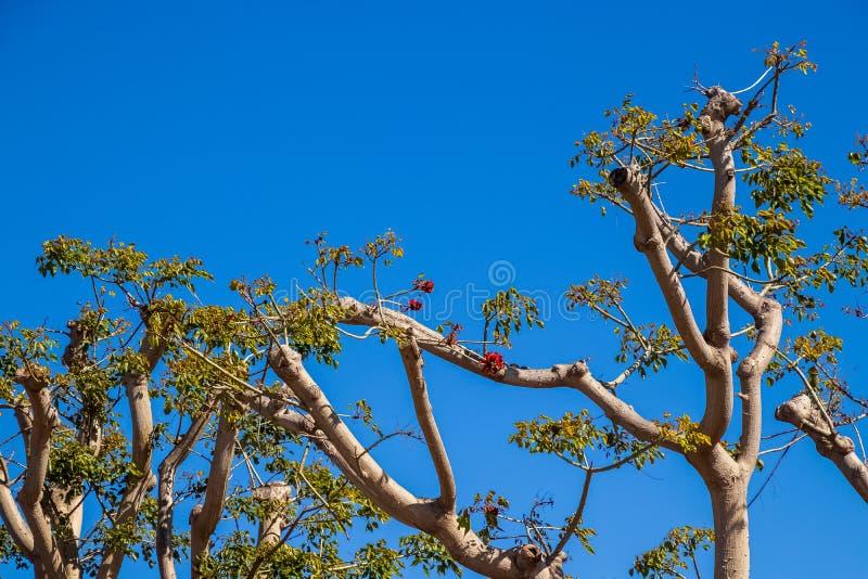 Korallträd som blommar i vår arkivbild