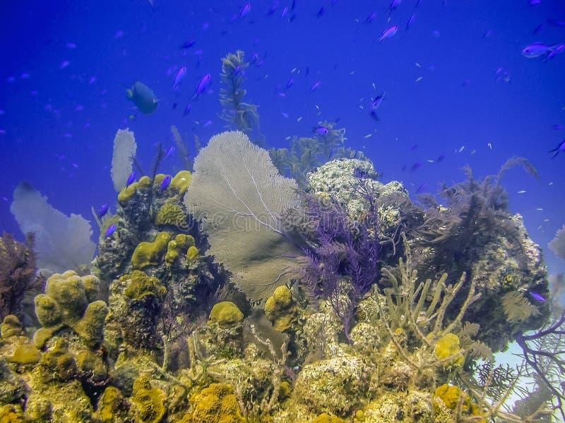 Korallträdgård i karibiskt royaltyfri bild