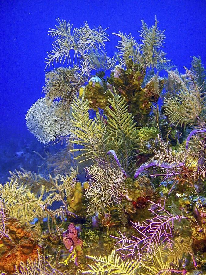 Korallträdgård i karibiskt arkivfoton
