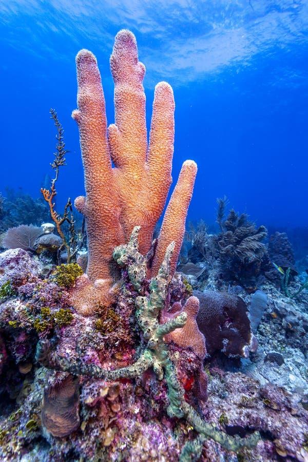 Koralltr?dg?rd i karibiskt royaltyfria foton