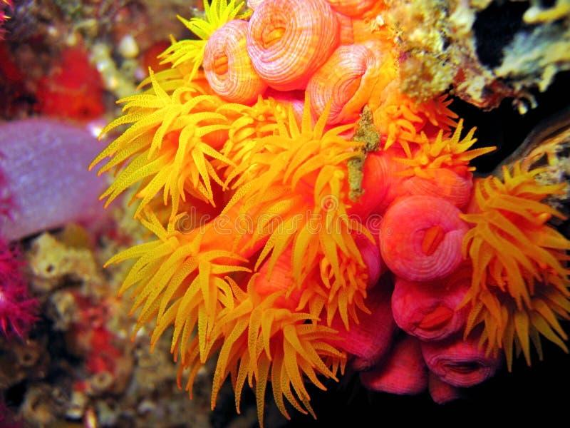 korallyellow arkivbild