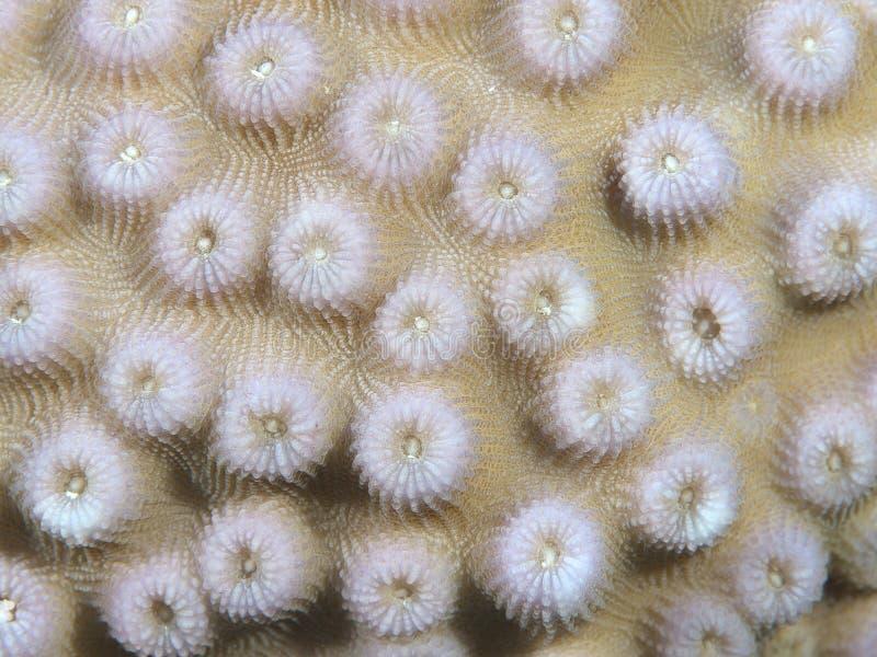 Koralowa tekstura obraz stock
