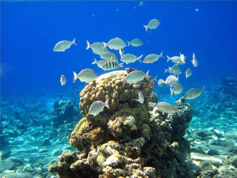 koralowy czerwony morze obrazy royalty free