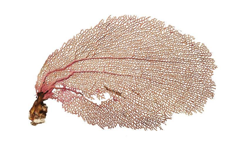 koralowy fan zdjęcie stock
