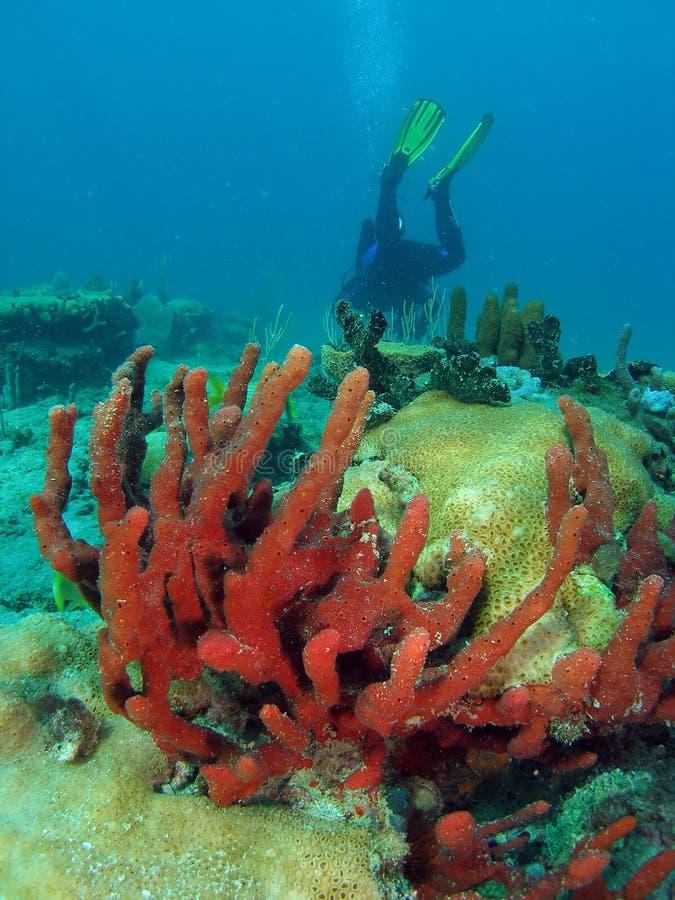 koralowy nurek fotografia stock