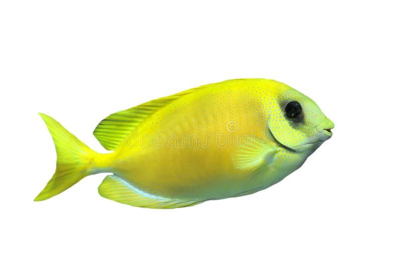 koralowy rabbitfish fotografia stock