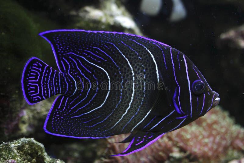koran angelfish стоковая фотография rf