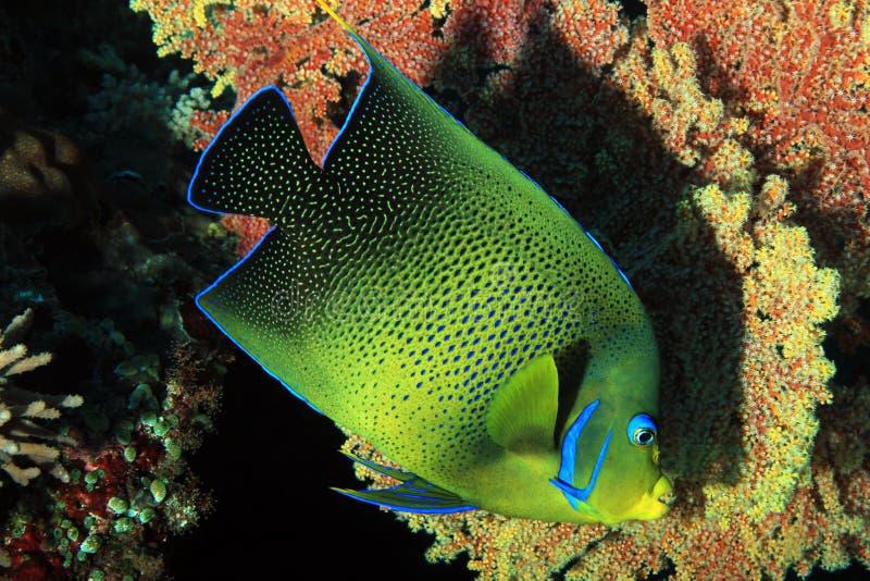 Koraniczny angelfish obraz royalty free