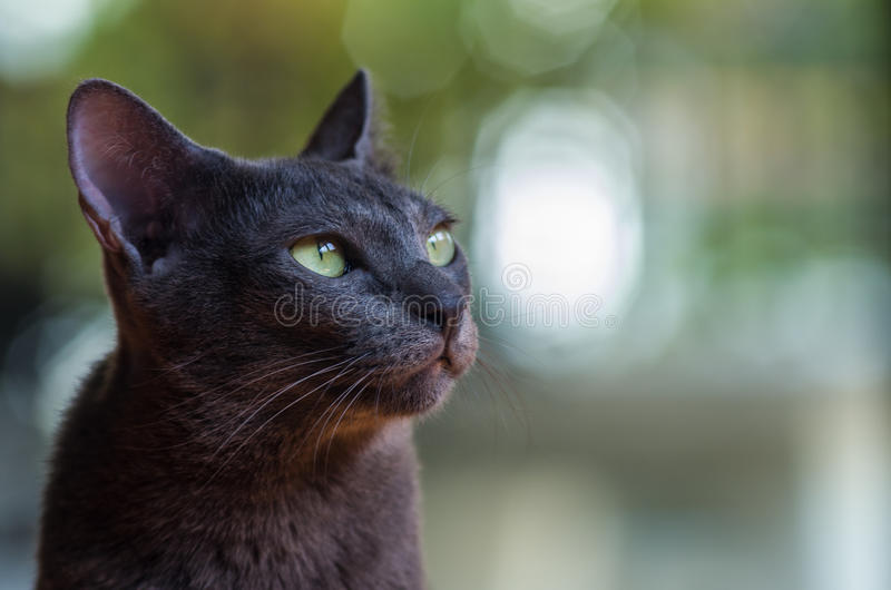 Korat cat. At my home stock photos