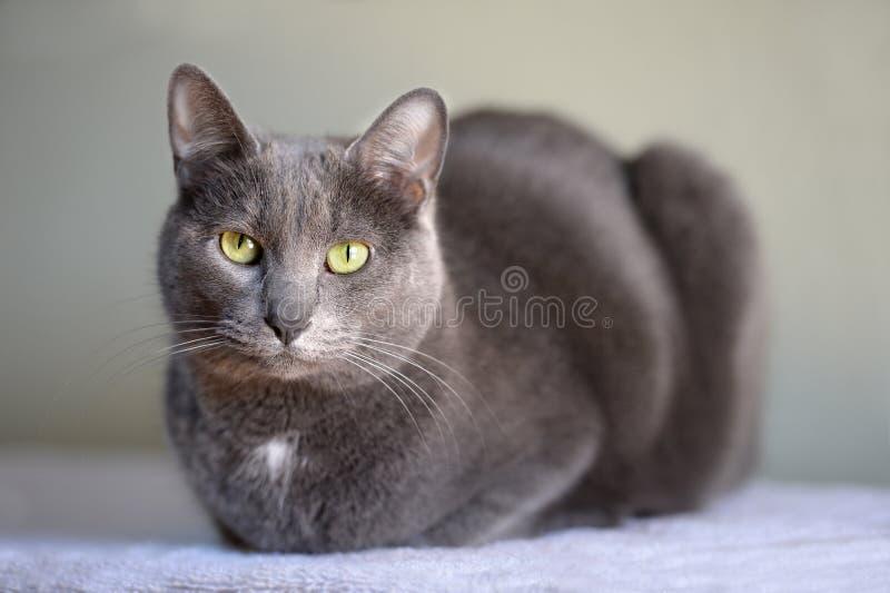 Korat Cat Resting royaltyfri foto