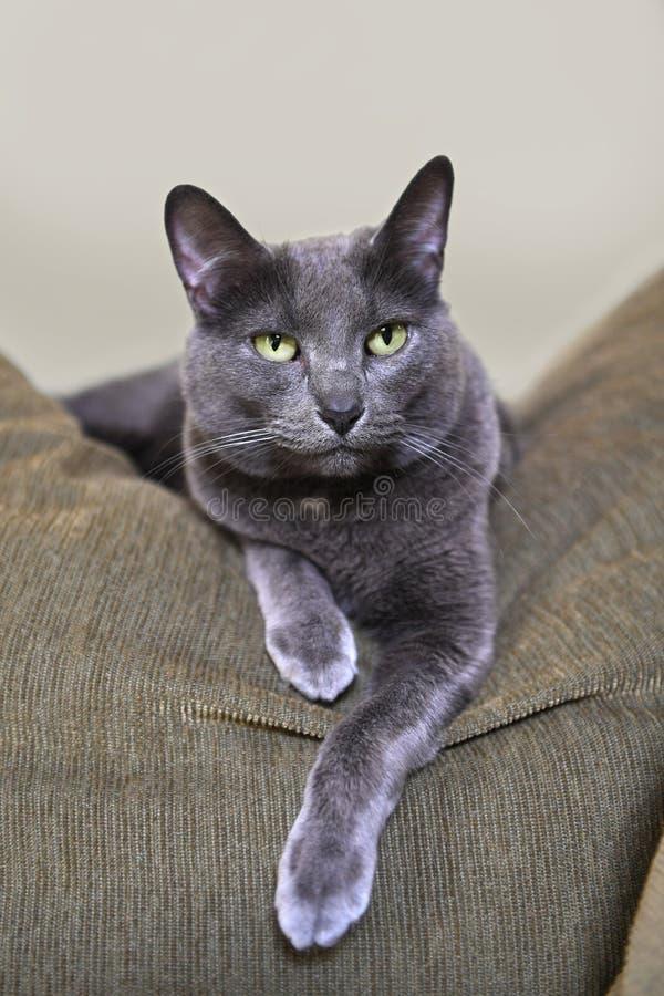 Korat Cat Resting på soffan arkivbild