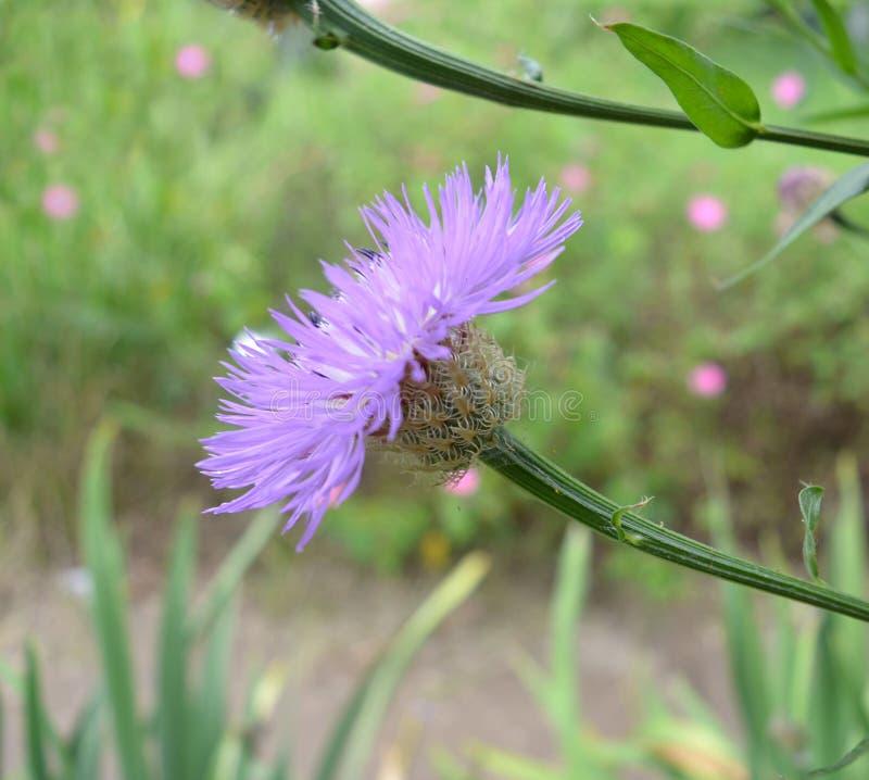 Korb-Blume (Centaurea Americana) lizenzfreie stockfotografie