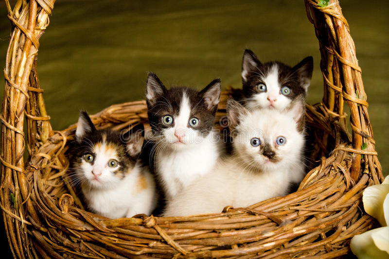 Korb der Kätzchen stockfoto