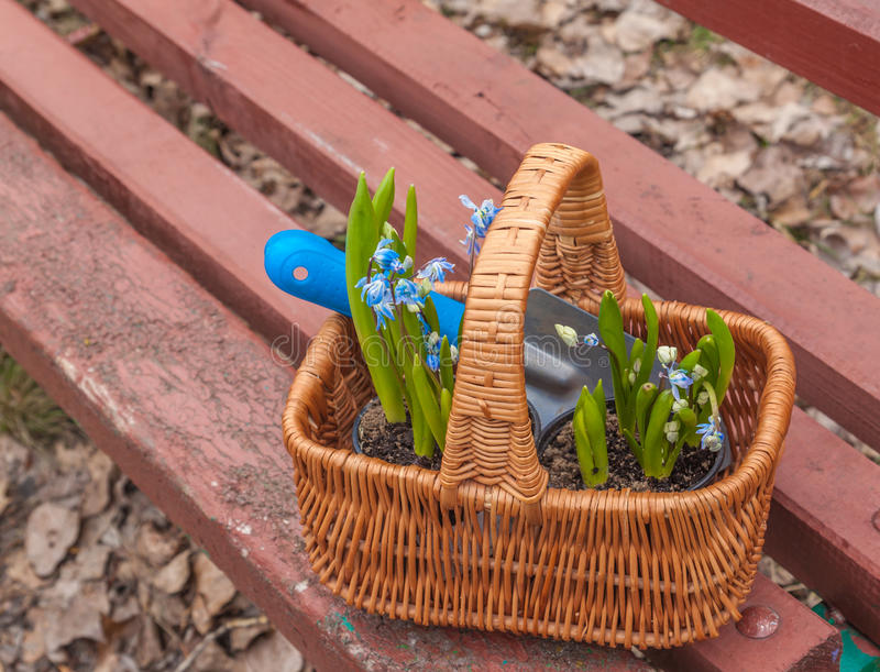 Korb mit Blumen Scylla (Scilla-siberica) lizenzfreie stockfotos