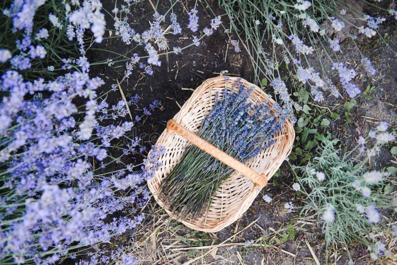 Korb mit Lavendelblumen Lavendelfeld im Sommer lizenzfreie stockfotos