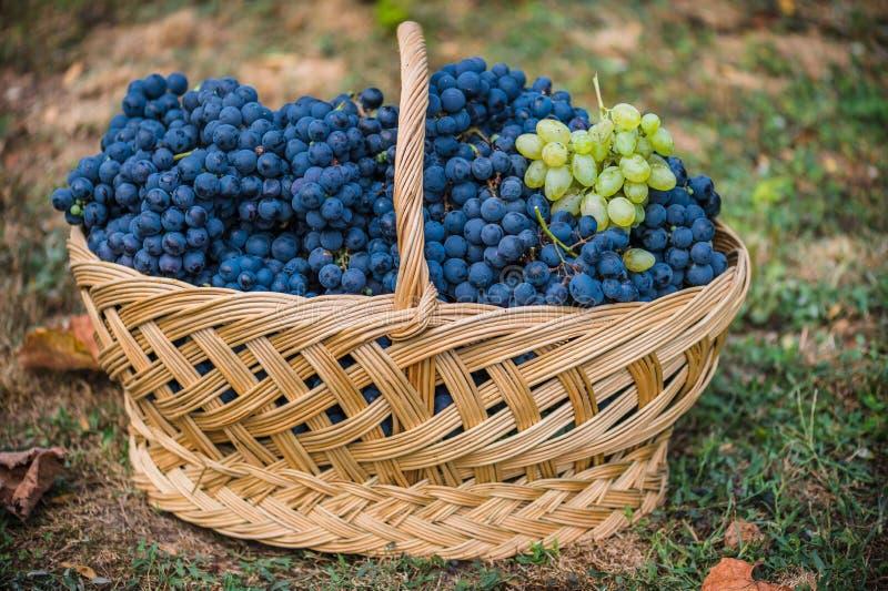 Korb mit Trauben Ernte der blauen Traube Lebensmittel, Burgunder Herbst im Garten lizenzfreie stockfotografie