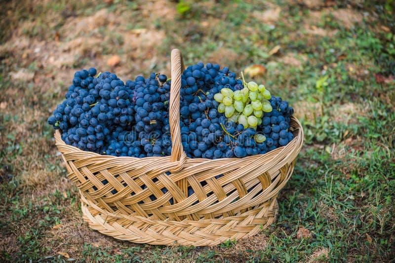 Korb mit Trauben Ernte der blauen Traube Lebensmittel, Burgunder Herbst im Garten lizenzfreie stockfotos