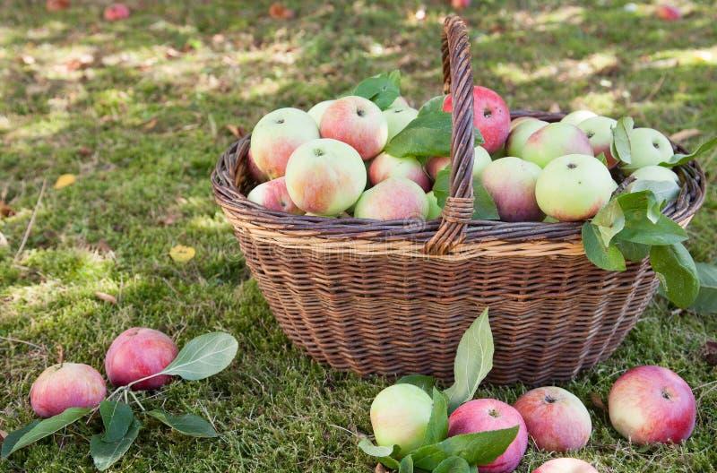 Korb voll der Äpfel stockbild
