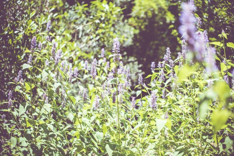 Koreańczyk mennica Ziele w ogródzie zdjęcie royalty free