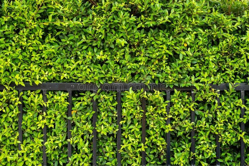 Korea?ski banyan t?o drzewo r jako domu przeciek obrazy royalty free