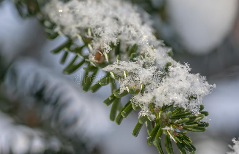 Korean fir is under a huge snow caps.  royalty free stock photography