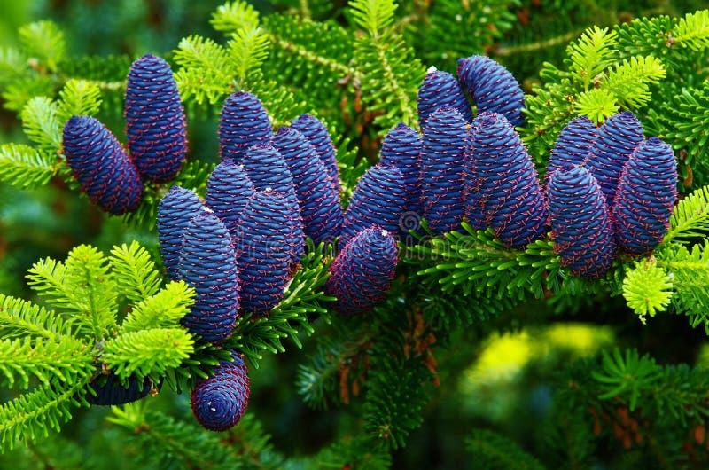 Korean fir. View of the Korean fir cones royalty free stock photography
