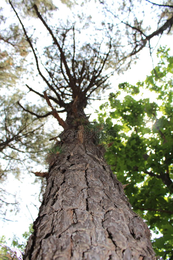 Korean Pine Tree in Forest royalty free stock photography