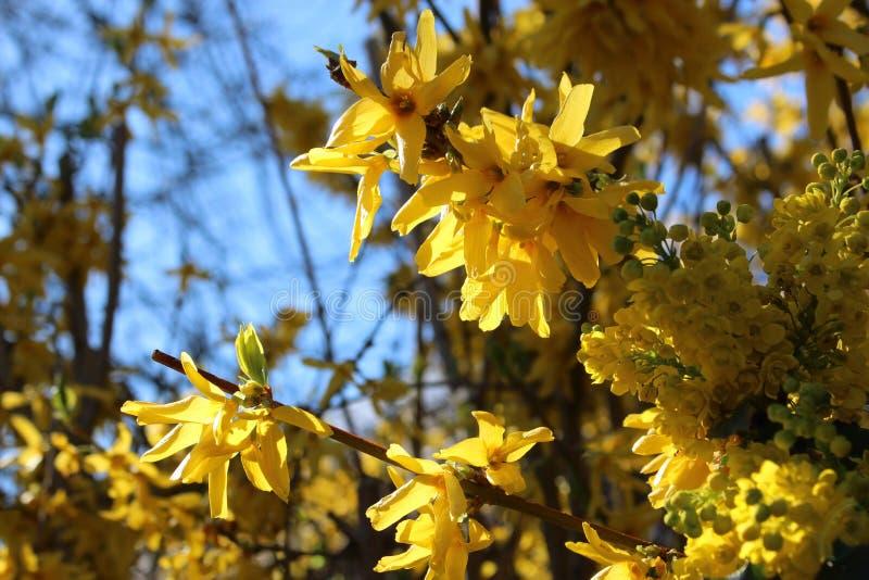 Koreanskt Goldenbell träd i solljuset royaltyfri fotografi