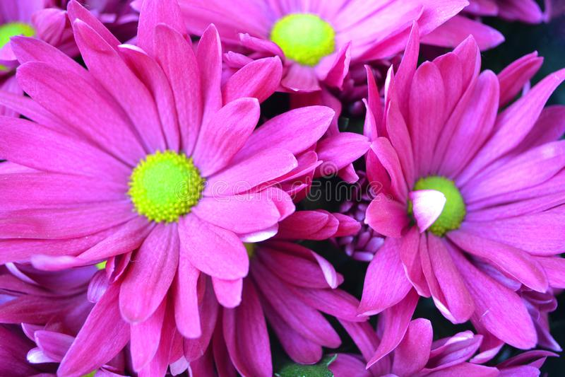 Koreanum del crisantemo con las flores rosadas o violetas cercanas encima de fondo foto de archivo libre de regalías