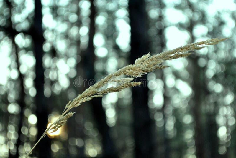 Korenaar op een achtergrond van het bos stock afbeeldingen