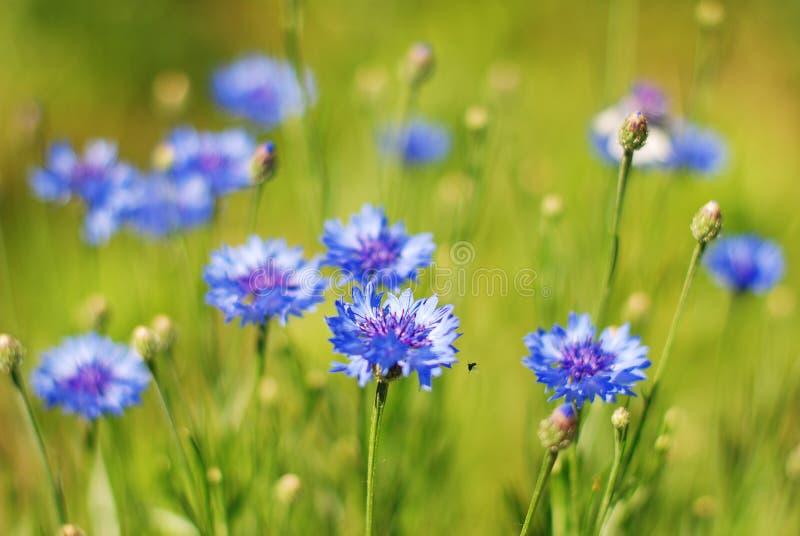 Korenbloemen stock afbeelding