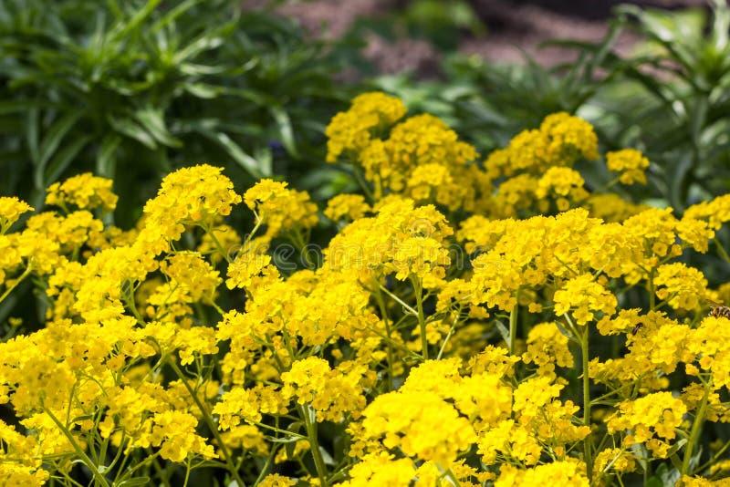 Korg av den guld- blomman Guld- Alyssumblomningar royaltyfri bild