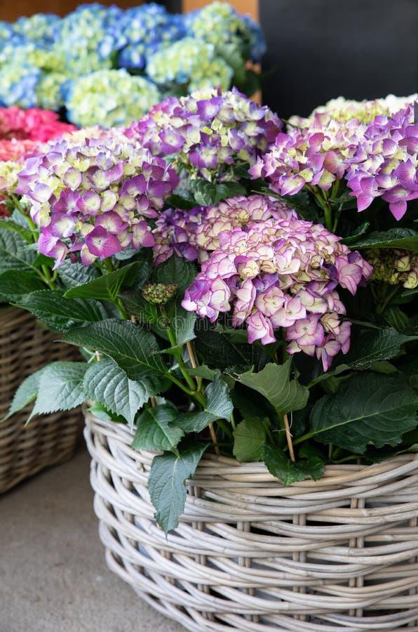 Korg av den inlagda purpurfärgade vanliga hortensian eller vanlig hortensiamacrophyllaen i blomsterhandeln arkivfoto