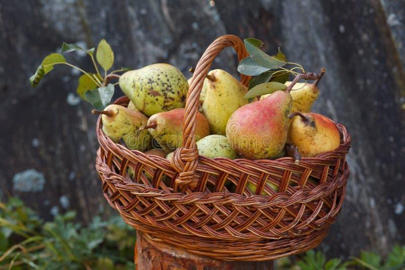 Korg med överflöd av päron arkivfoto