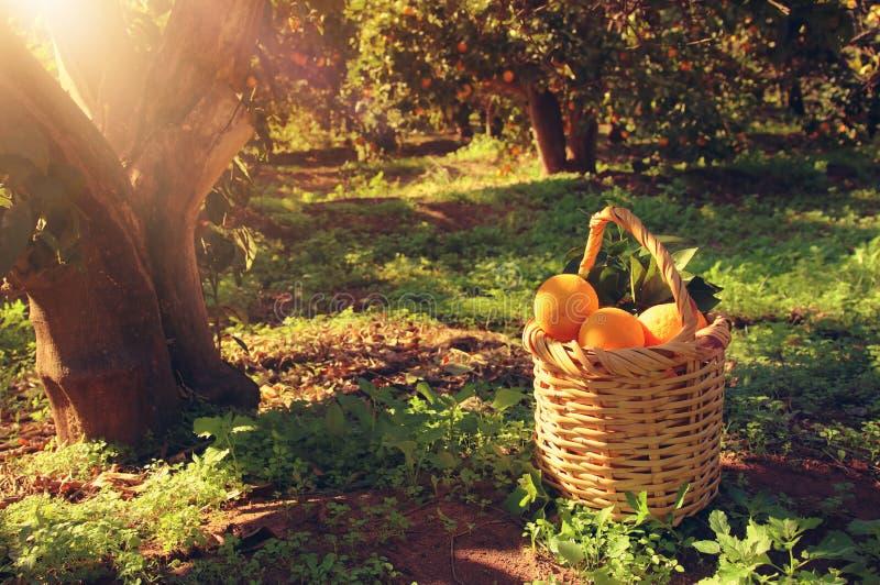 Korg med apelsiner i den citrusa kolonin arkivbild